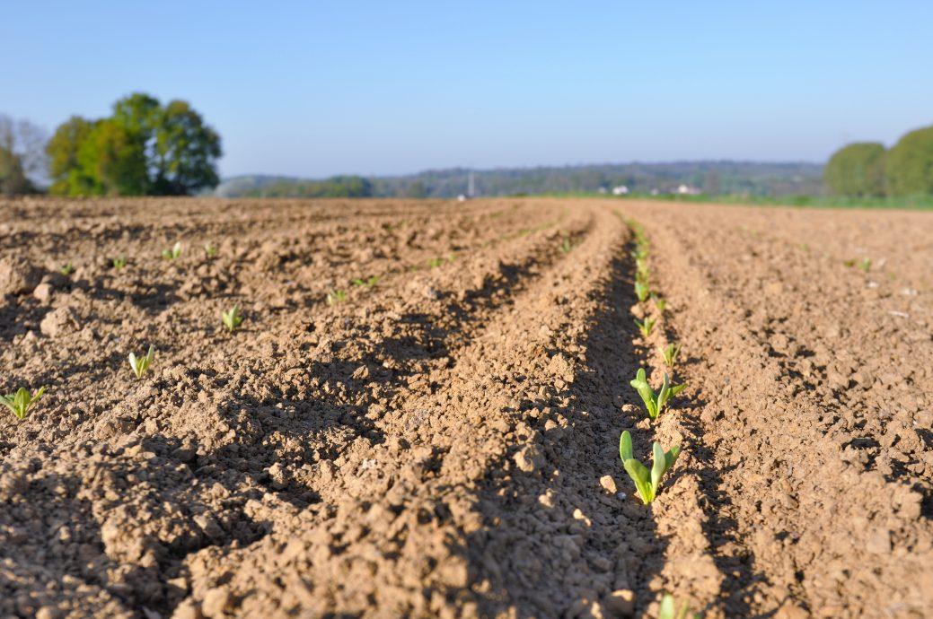 semis dans un champ