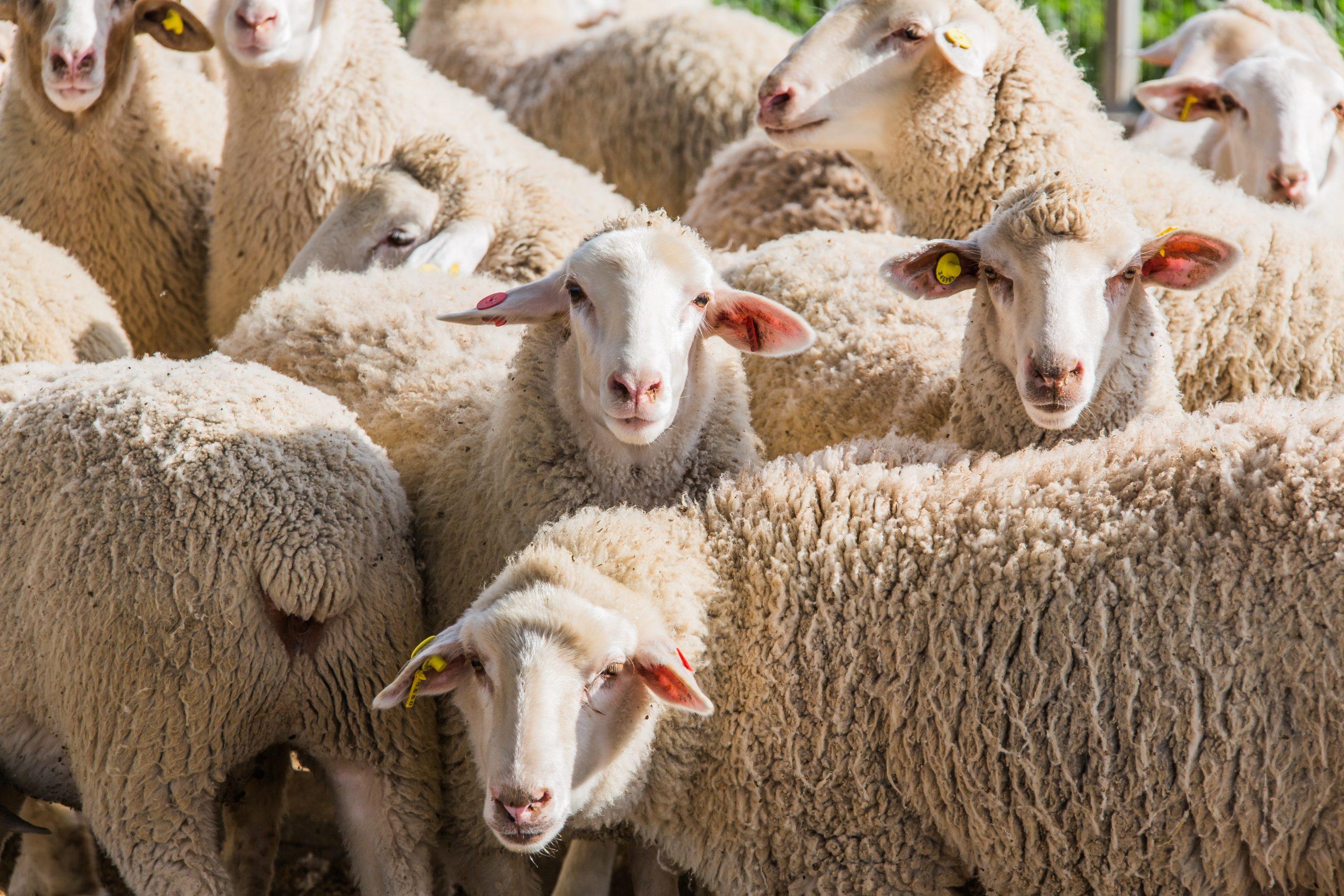 herd of white sheep