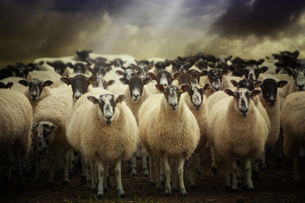 shutterstock_140619148 (sheep)